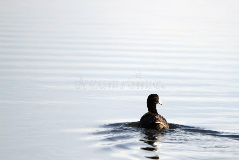 La focha americana nada en el amanecer en el agua pacífica de la reserva nacional de Alamosa en Colorado meridional imágenes de archivo libres de regalías