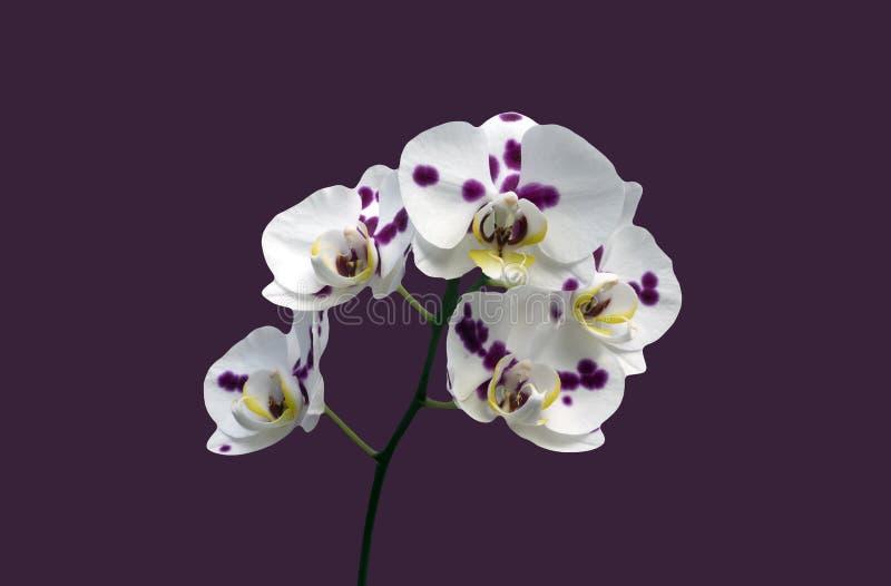 La foglia bianca del fondo di rosa dell'orchidea di phalaenopsis sboccia gambo di verde giallo fotografia stock libera da diritti
