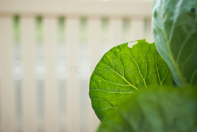 La foglia del cavolo verde con bianco recinta il fondo immagine stock
