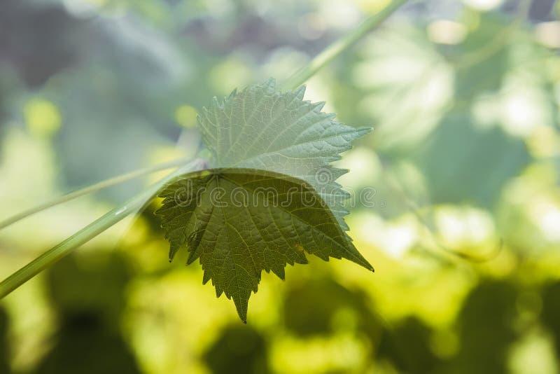 La foglia dell'uva prende il sole al sole fotografia stock libera da diritti