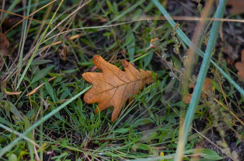 La foglia della quercia gialla con le gocce di rugiada si trova sull'erba verde Fucilazione dall'alto al basso Fuoco selettivo fotografia stock
