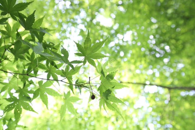 La foglia di acero di verde dello zucchero della primavera lascia il fondo fotografia stock