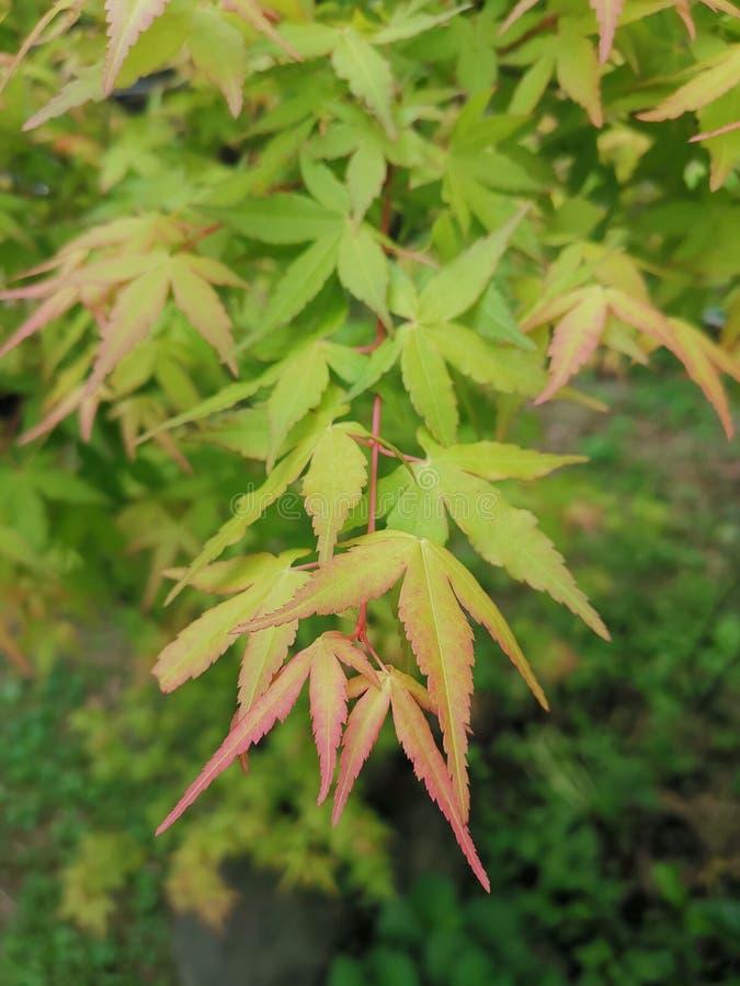 La foglia di acero verde di Taipei immagine stock