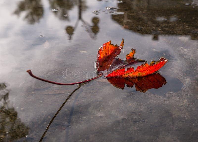 La foglia di autunno su una pozza dopo pioggia fotografia stock