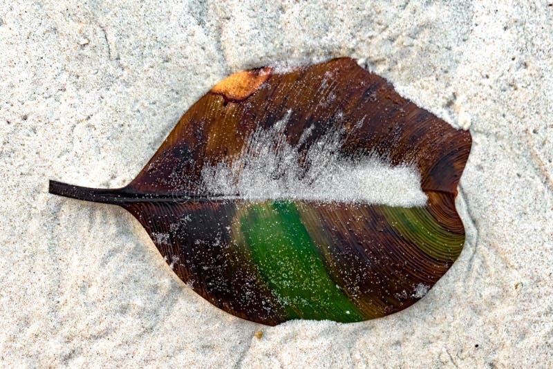 La foglia di decomposizione Beached con il venation parallelo perfetto, sulla sabbia bianca dell'isola tropicale è a metà pigment immagine stock libera da diritti