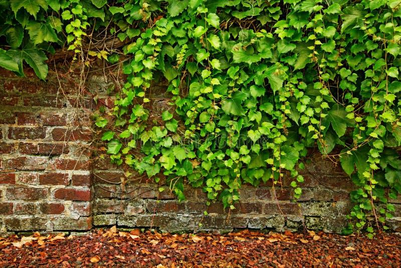 La foglia ha coperto il vecchio muro di mattoni fotografia stock libera da diritti