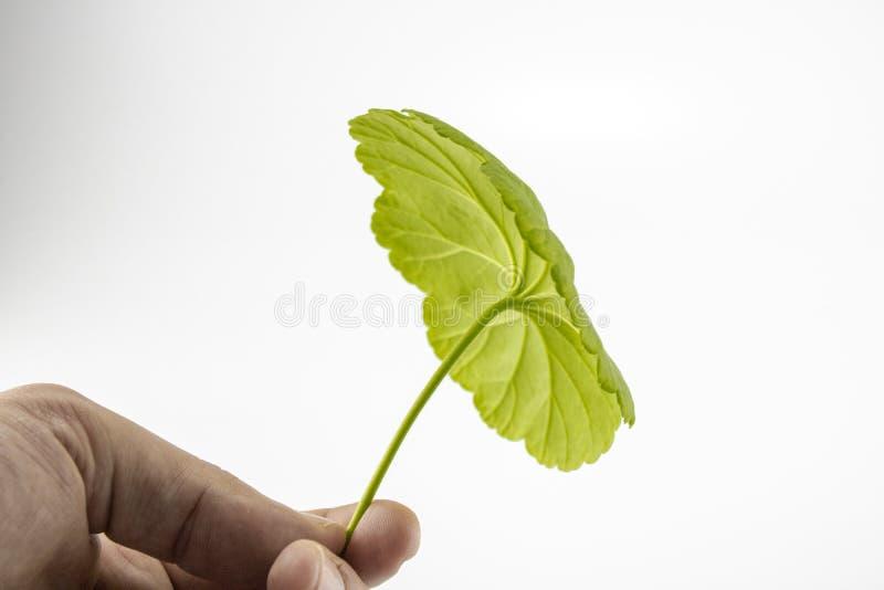 La foglia verde del fiore latino è stata presa a mano fotografie stock