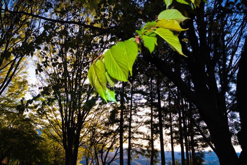 La foglia verde di un albero giapponese visto si chiude su fotografia stock libera da diritti