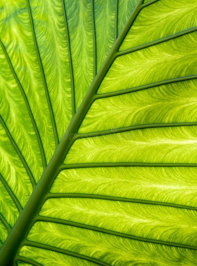 La foglia verde venato il modello immagine stock libera da diritti