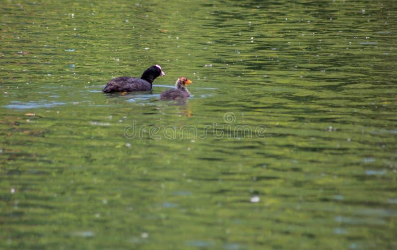 La folaga è un uccello acquatico di colore nero: è distinta da un punto bianco tipico sullo schermo della fronte che prende la l fotografie stock libere da diritti