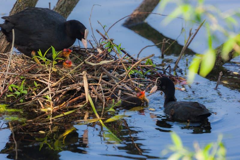 La folaga della madre sta covando sul suo nido fotografia stock