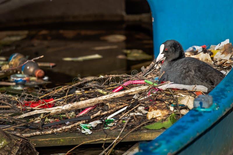 La folaga euroasiatica si siede su un nido fatto dei ramoscelli e dei rifiuti, in una barca parzialmente affondata in un canale d fotografie stock libere da diritti