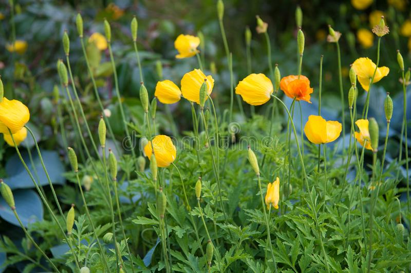 La fonte dell'oppio del narcotico Fioritura gialla del papavero Fiori del papavero in aiola Germogli del papavero con i petali gi fotografie stock