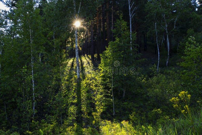 La forêt à feuilles caduques mélangée verte en été avec le soleil rayonne photo stock