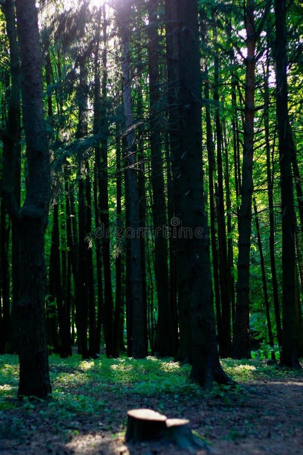 La forêt à la lumière du soleil images stock