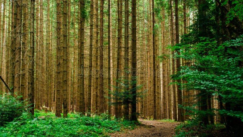 La forêt carpathienne image stock