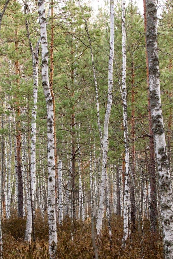 La forêt de bouleau images libres de droits