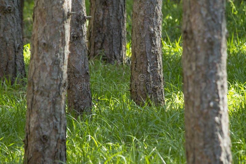 La forêt de pin avec l'herbe verte grande est saison de coutil dans le dee image stock