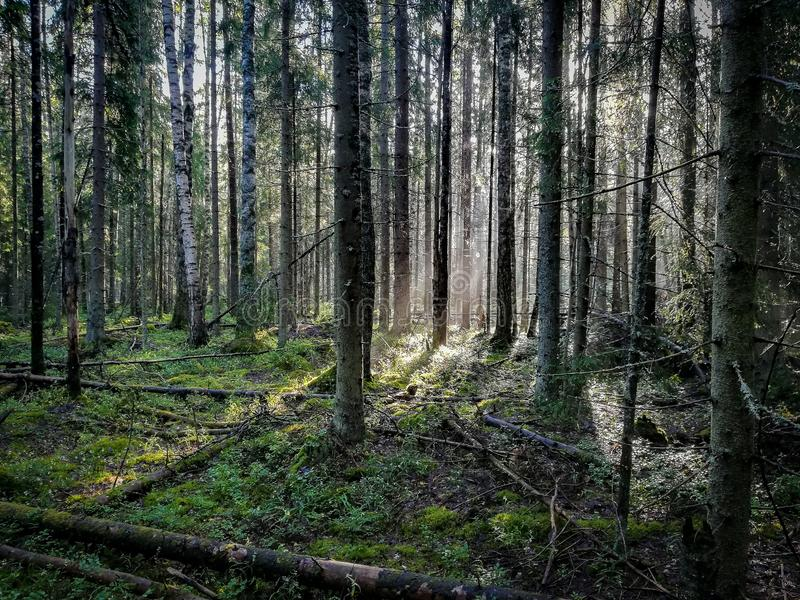 La forêt, pins tombés, début de la matinée, herbe verte, le soleil rayonne image stock