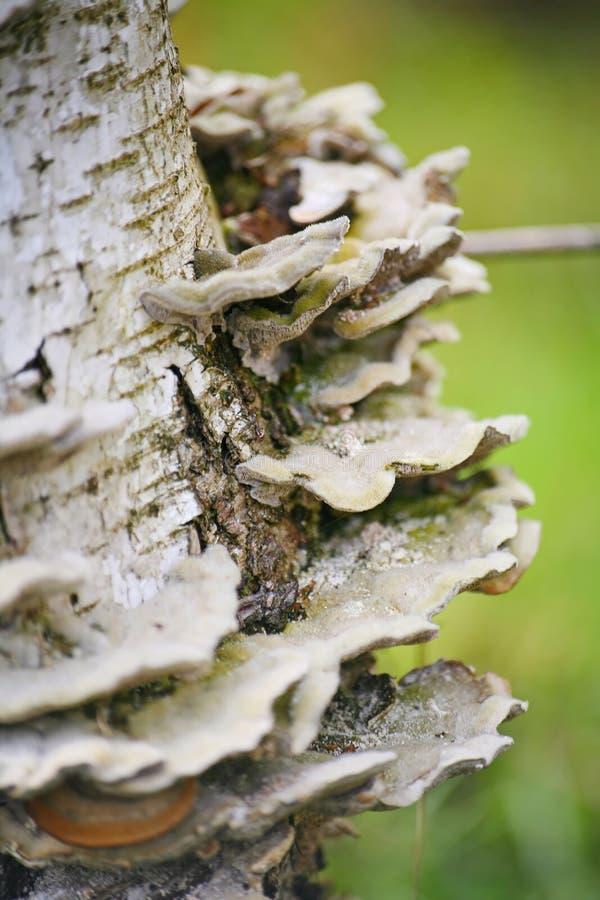 La forêt répand, les parasites sur le bouleau de tronc d'arbre photos stock