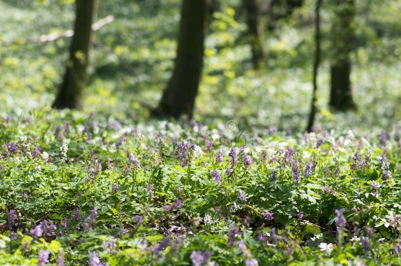 La forêt sauvage de premier ressort cave de Corydalis fleurit en fleur, usines fleurissantes pourpres de violette blanche belles  photographie stock