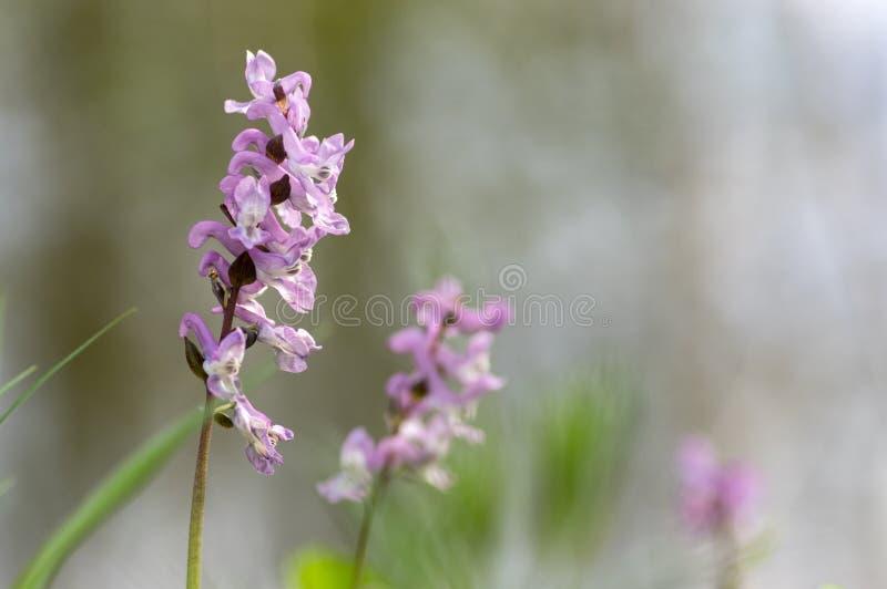 La forêt sauvage de premier ressort cave de Corydalis fleurit en fleur, usines fleurissantes pourpres de violette blanche belles  images libres de droits