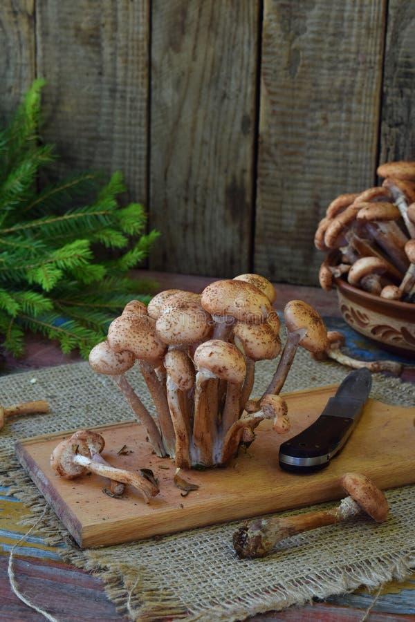 La forêt sauvage répand des agarics de miel sur le fond en bois Mellea d'Armillaria Champignon de Hallimasch de gel de miel de co photographie stock