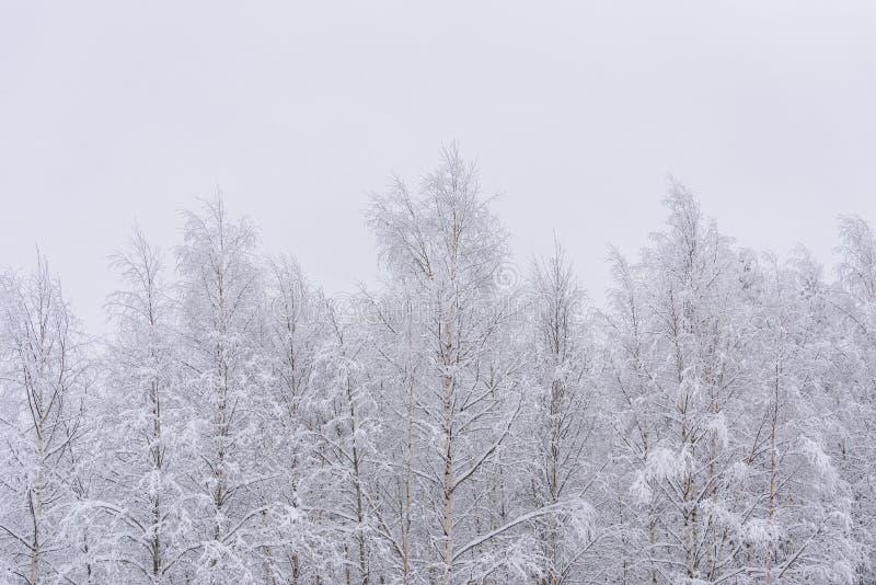 La foresta è ricoperta di neve pesante e cielo azzurro limpido nella stagione invernale a Lapland, Finlandia fotografia stock libera da diritti