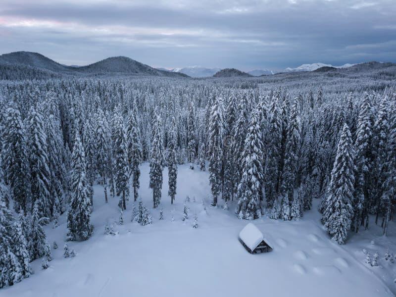 La foresta alpina dell'inverno a Pokljuka Slovenia ha coperto in neve all'alba immagine stock