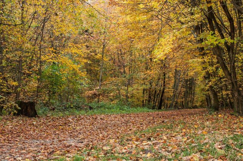 La foresta in autunno fotografia stock libera da diritti