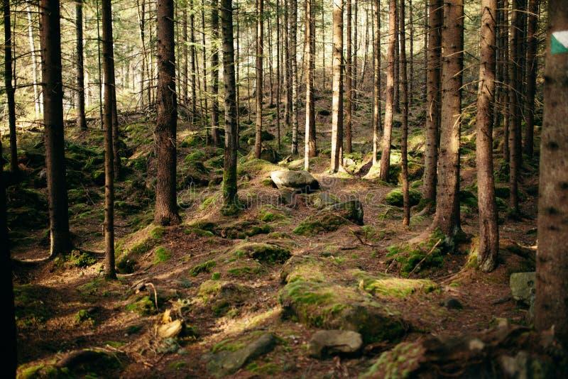 La foresta carpatica magica all'alba ha riempito di raggi delicati del sole fotografia stock