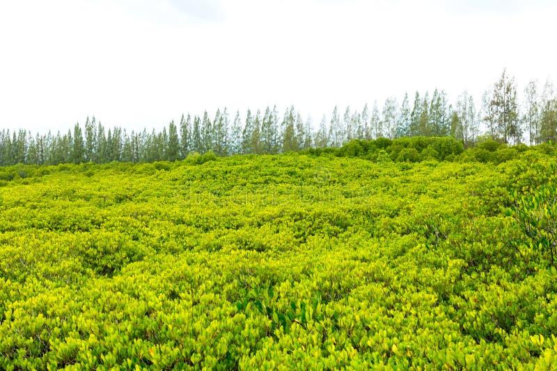 La foresta con il fondo del pino fotografie stock libere da diritti