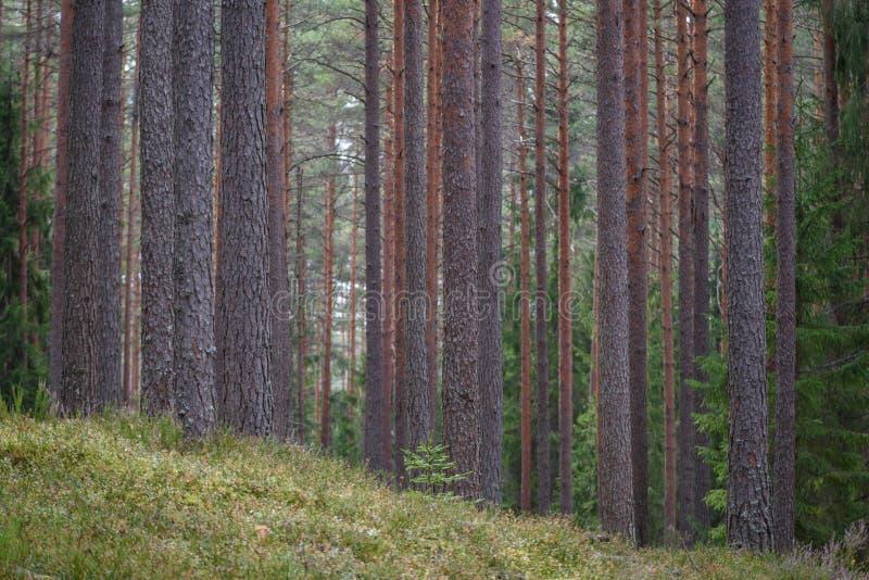 la foresta del pino con muschio ha riguardato i tronchi ed i raggi del sole fotografia stock