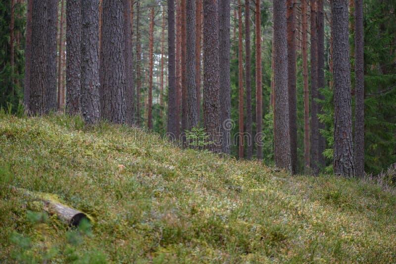 la foresta del pino con muschio ha riguardato i tronchi ed i raggi del sole immagini stock