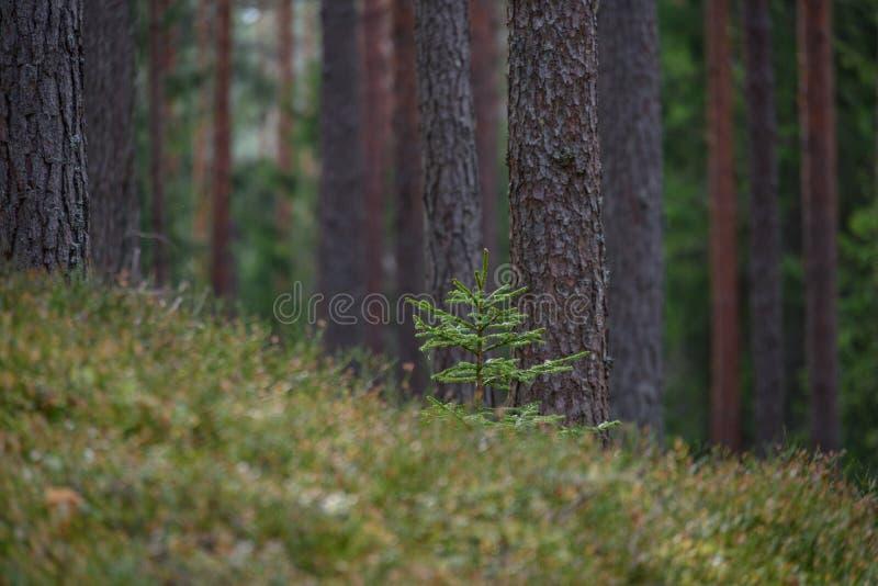la foresta del pino con muschio ha riguardato i tronchi ed i raggi del sole immagine stock