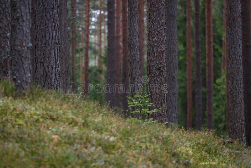 la foresta del pino con muschio ha riguardato i tronchi ed i raggi del sole immagine stock libera da diritti