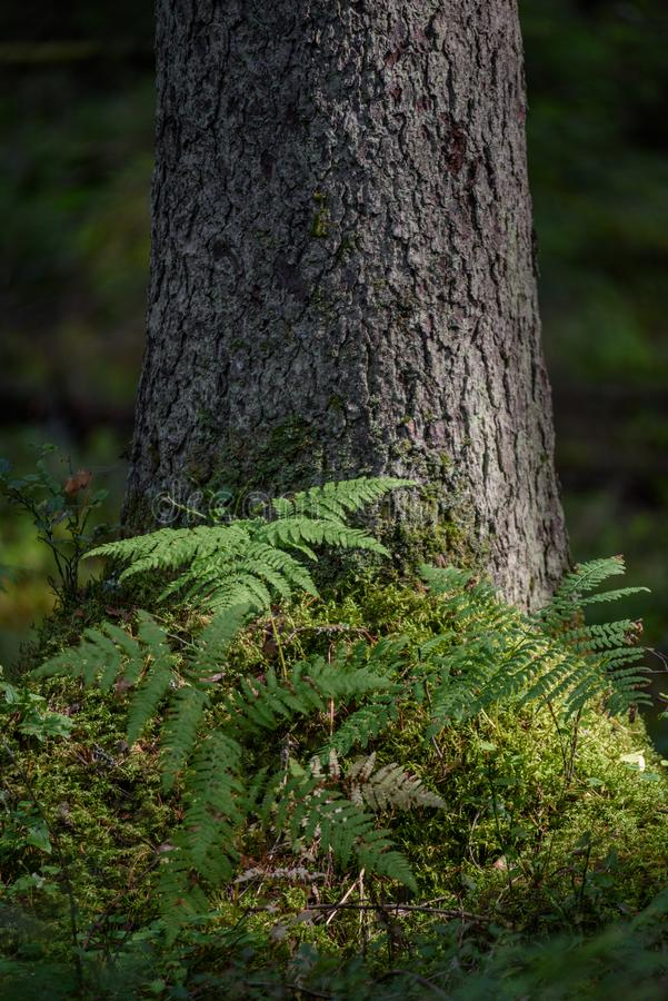 la foresta del pino con muschio ha riguardato i tronchi ed i raggi del sole fotografia stock libera da diritti