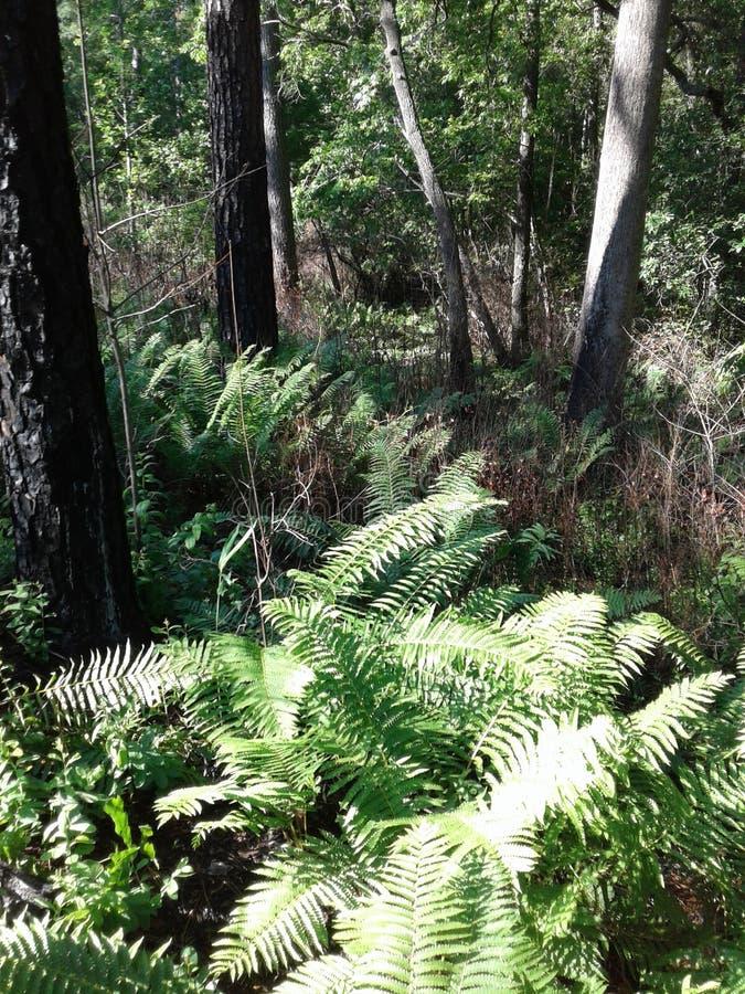La foresta dell'erba delle felci lascia la foresta dei rami del cielo blu dell'albero fotografia stock