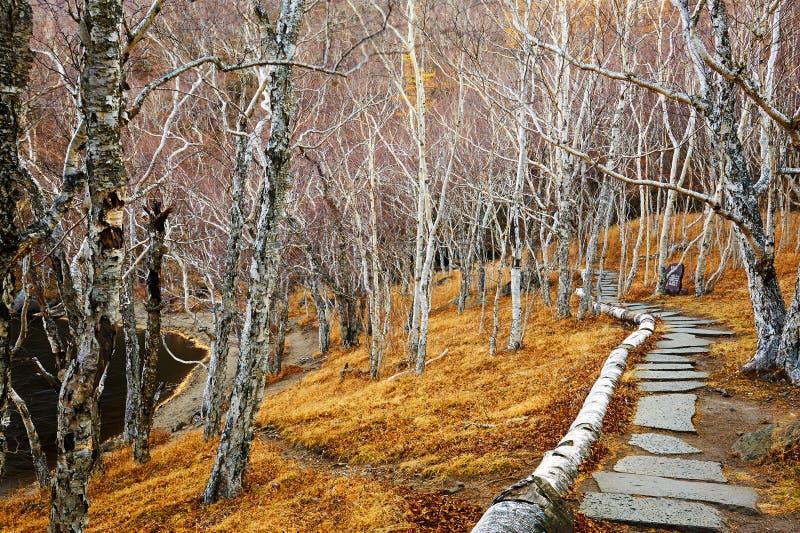 La foresta della betulla del percorso fotografie stock libere da diritti