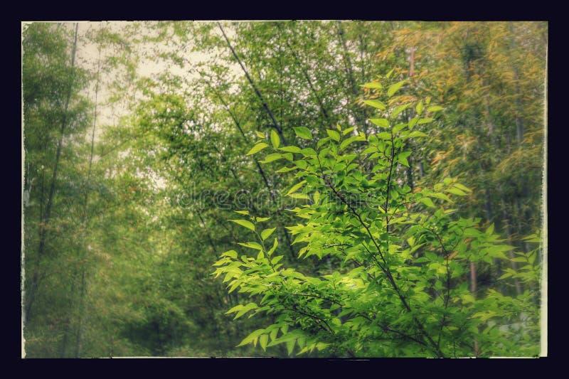 La foresta di bambù famosa del Giappone La bellezza dell'Asia fotografia stock