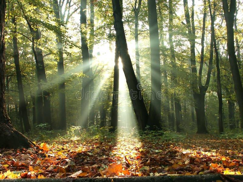 la foresta di caduta rays gli alberi del sole immagini stock libere da diritti
