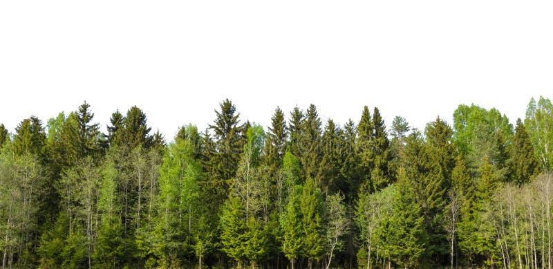 La foresta di verde della primavera sull'orizzonte è isolata fotografia stock libera da diritti