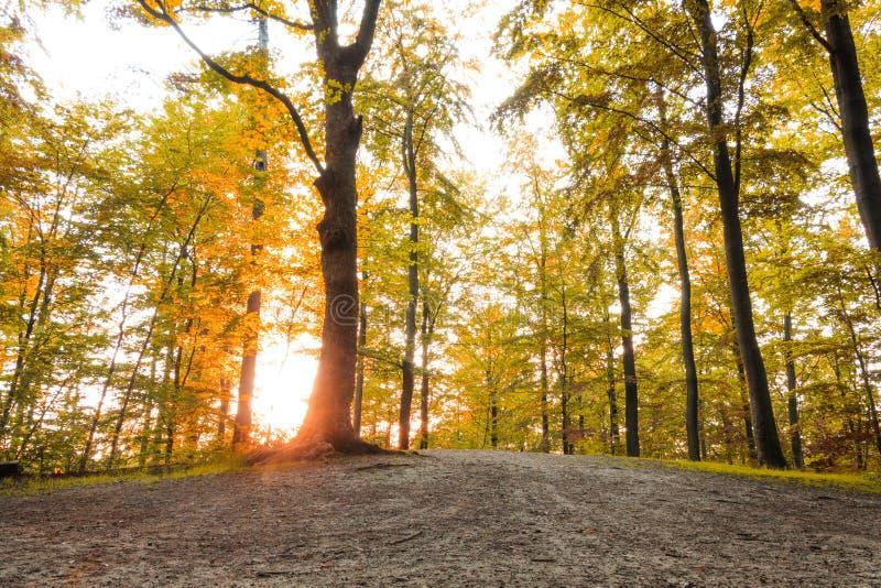 La foresta dorata con il sole rays alla stagione di caduta fotografie stock libere da diritti