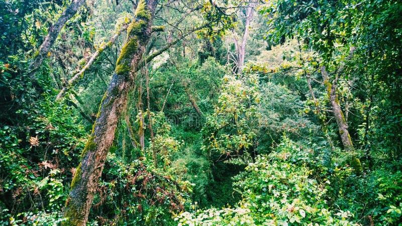 La foresta pluviale densa nelle gamme di Aberdare, Kenya fotografia stock libera da diritti