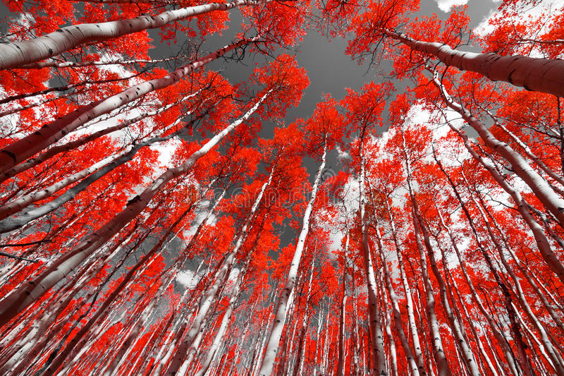La foresta rossa immagine stock