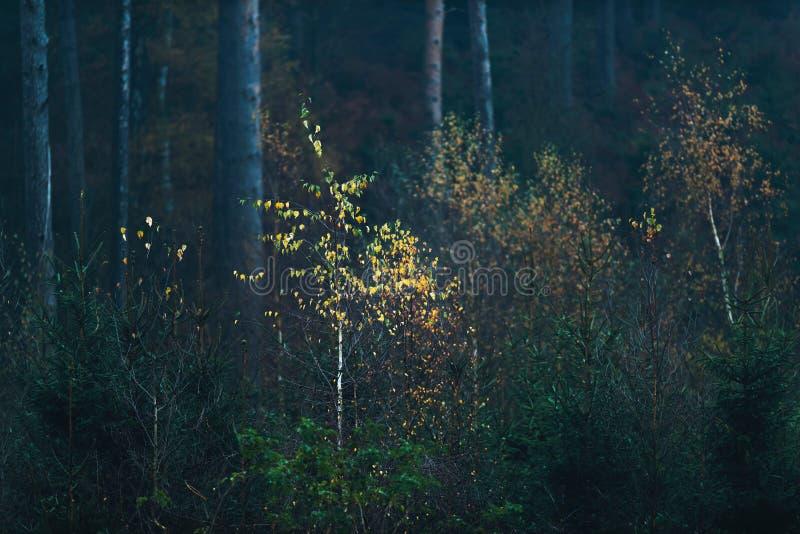 La foresta scura di autunno con giovane giallo ha colorato gli alberi di betulla fotografia stock