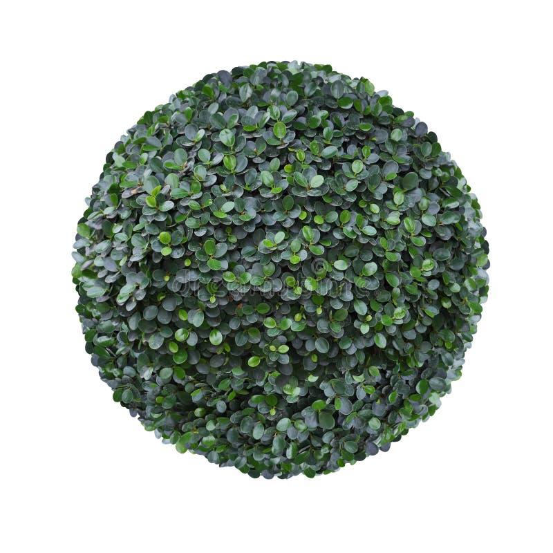 La forma redonda del círculo acortó el árbol del topiary aislado en el fondo blanco para el diseño artístico formal del jardín de fotos de archivo libres de regalías