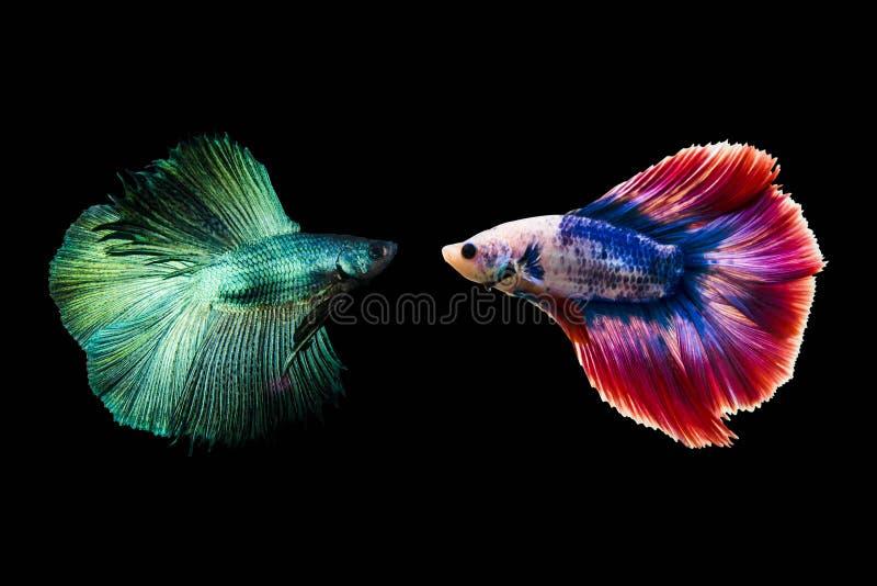 La forma superior de los pescados del betta de los pares que luchaba que se preparaba para luchar aisló a en fondo negro fotografía de archivo