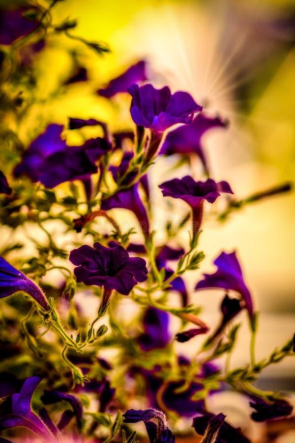 La forme de belles fleurs pourpres de jardin image libre de droits