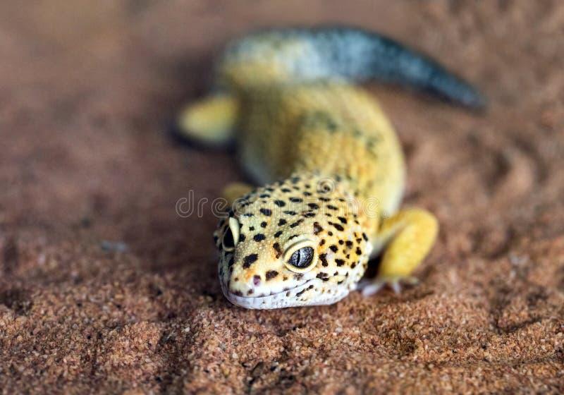La forme et le visage d'un gecko de léopard photo libre de droits